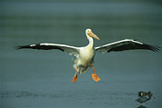 An American White Pelican In Flight Print by Klaus Nigge