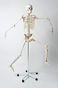 Colored Background Photos - An Anatomical Skeleton Model Running And Jumping by Rachel de Joode