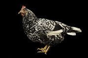 An Ancona Chicken At The Soukup Farm Print by Joel Sartore