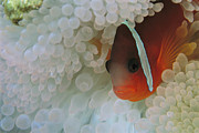 Damselfish Framed Prints - An Anemonefish Nestled Among Sea Framed Print by Tim Laman