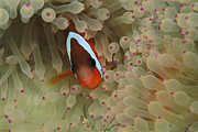 Damselfish Framed Prints - An Anemonefish Nestles Among Sea Framed Print by Tim Laman