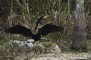 Anhinga Framed Prints - An Anhinga Spreads Its Wings Framed Print by Klaus Nigge