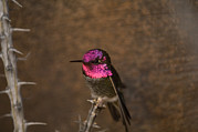 Desert Dome Photos - An Annas Hummingbird Calypte Anna by Joel Sartore
