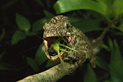 Lizards Photos - An Anolis Porcus Lizard Eats by Steve Winter