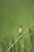 Warblers Framed Prints - An Aquatic Warbler Perched On A Slender Framed Print by Klaus Nigge