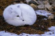 Roosting And Resting Prints - An Arctic Fox Alopex Lagopus Roosting Print by Paul Nicklen
