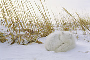 Snow Scenes Metal Prints - An Arctic Fox Curls Up In The Snow Metal Print by Norbert Rosing