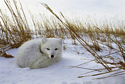 Snow Scenes Prints - An Arctic fox curls up Print by Norbert Rosing