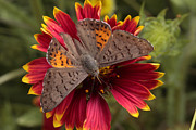 Portal Photo Metal Prints - An Ares Metalmark Feeds On A Flower Metal Print by George Grall