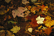Pine Needles Photos - An Array Of Autumn Maple Leaves by Raymond Gehman