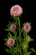Aster Flower Prints - An Aster Flower Aster Ericoides Print by Joel Sartore