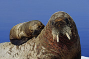 Strategy Posters - An Atlantic Walrus Pup Seeks Refuge Poster by Paul Nicklen