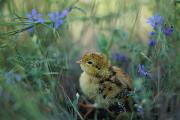 Birds And Flowers Prints - An Attwaters Prairie Chick Surrounded Print by Joel Sartore