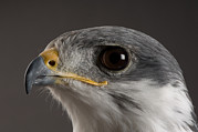 An Auger Buzzard Buteo Auger At Denver Print by Joel Sartore