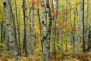 Woodland Scenes Prints - An Autumn View Of A Birch Forest Print by Medford Taylor