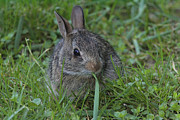Feeding Photos - An Eastern Cottontail Feeds On Grass by George Grall