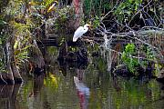 Everglades Metal Prints - An Egrets World Metal Print by David Lee Thompson