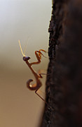 Mantid Prints - An Elegant Juvenile Mantid Hunting Print by Jason Edwards