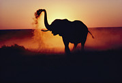 Pans Prints - An Elephant Loxodonta Africana Tosses Print by Annie Griffiths