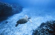 Cheloniidae Prints - An Endangered Green Sea Turtle Glides Print by Jason Edwards