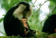 Monkeys Prints - An Endangered Lion-tailed Macaque Print by Frans Lanting