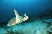 Reptiles Photos - An Endangered Loggerhead Turtle by Brian J. Skerry
