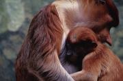 Monkeys Prints - An Endangered Proboscis Monkey Cuddles Print by Michael Nichols
