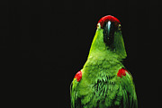 Wild Parrots Framed Prints - An Endangered Thick-billed Parrot Framed Print by Joel Sartore