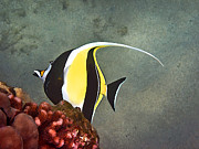 Tropical Fish Posters - An Idol-ized Reef Fish Poster by Bette Phelan