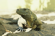Lizards Photos - An Iguana Basks In A Sunny Spot by Bill Curtsinger