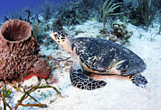 Hawksbill Sea Turtle Posters - An Injured Hawksbill Turtle Poster by Karen Doody