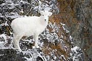 Sheep Photos - An Innocent Lamb by Tim Grams