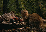 Invasive Species Photo Prints - An Introduced Mongoose Eating A Nene Print by Chris Johns