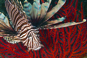 Invasive Species Photo Prints - An Invasive Indo-pacific Lionfish Print by Karen Doody