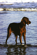 Irish Setter Framed Prints - An Irish Setter Stand In The Surf Framed Print by Rex A. Stucky