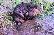 Beavers Art - An Itchy Spot by Jeff  Swan