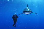 Oceanic View Prints - An Oceanic Whitetip Shark Swims Print by Brian J. Skerry