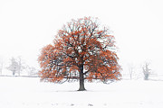 Japanese Fall Foliage Framed Prints - An Old Oak Tree In A Winter Snow Landscape Framed Print by Andrew Bret Wallis