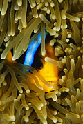 Damselfish Framed Prints - An Orange-fin Anemonefish Nestled Framed Print by Tim Laman