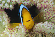 Damselfish Framed Prints - An Orange-fin Anemonefish Shelters Framed Print by Tim Laman