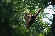 Orangutans Photos - An Orangutan Crosses The Forest by Tim Laman