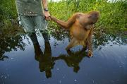 Orangutans Framed Prints - An Orangutan Orphan Clings To The Hand Framed Print by Mattias Klum