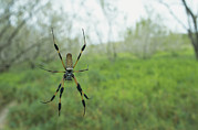 Orb Weaver Framed Prints - An Orb Weaver Spider Spins Its Web Framed Print by Klaus Nigge