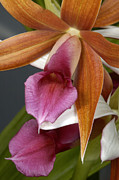 Cattleya Framed Prints - An Orchid, Probably A Cattleya Hybrid Framed Print by Stephen Sharnoff