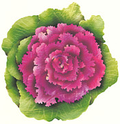 Lettuce Digital Art Framed Prints - An Ornamental Cabbage Framed Print by Aya Naito