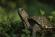 An Ornate Box Turtle Surveys Print by Joel Sartore