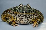 Ornate Art - An Ornate Horned Frog Ceratophrys by George Grall
