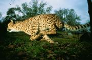 Endangered Cheetahs Art - An Unbound, Endangered African Cheetah by Michael Nichols