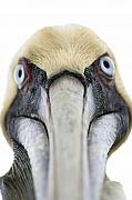 Pelican Acrylic Prints - An Unusual Bird Acrylic Print by Carl Purcell