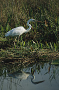 Pickerel Posters - An Unusual White Great Blue Heron Poster by Raymond Gehman